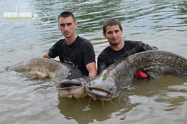 waller wels silure siluro catfish