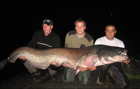 Германия. Сом, примерным весом около 95 - 98 кг и длиною 236 см.